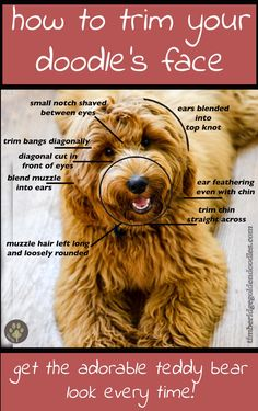 the perfect goldendoodle face clip! Love my teddy bear! is part of Goldendoodle haircuts - Teddy Bear Goldendoodle, Goldendoodle Haircuts, Goldendoodle Grooming, Dog Haircuts, Dog Grooming Tips, Poodle Grooming, Pet Tips, Dog Grooming Styles, Poodle Teddy Bear Cut