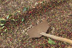 Secagem do café - Ervália MG