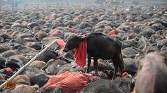 """""""O GRITO DO BICHO"""": Sacrifício de Animais proibidos no Festival de Gad..."""