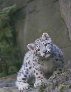 Snow leopard so cute! That face is why they r my favorite creature!