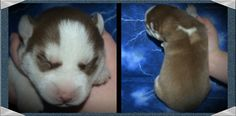 Meet Iysis, our 1 week old Siberian Husky. My wife and I are so excited we can't wait for our pick update...