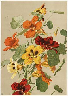 Nasturtiums by Boston Public Library, via Flickr