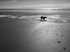 https://flic.kr/p/rjMLAv | Hurcules at the beach | A new B&W conversion of an old photo of my dearly departed dog Hercules.