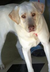 KAC Jake is an adoptable Labrador Retriever Dog in Keller, TX. Jake is a gorgeous 2 year old male Labrador Retriever who is looking for a new leash on life! He is an outgoing boy who loves to play! He...
