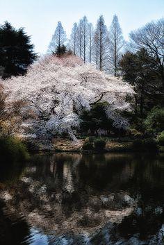 Cherry Blossom in Shinjuku Gyoen Garden, Tokyo