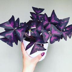 oxalis triangularis, purple shamrock