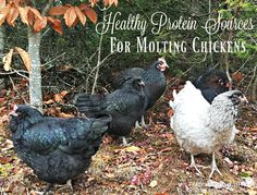 10 Healthy Protein Sources for Molting Chickens