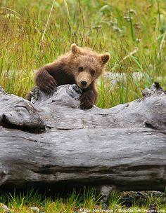 "Brown bear cub tries to ""summit"" large log, Lake Clark National Park, Alaska."