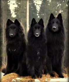 Belgian Sheepdog, seriously looks like a wolf. Beautiful Wolves, Beautiful Dogs, Animals Beautiful, Beautiful Creatures, I Love Dogs, Cute Dogs, Awesome Dogs, Animals And Pets, Cute Animals