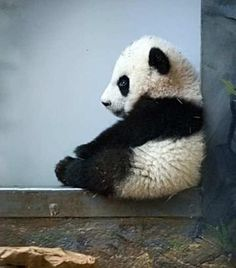 """Panda - In Mandarin Chinese, this is called a Xiong Mao, or """"Bear Cat"""". It makes sense, considering that Pandas are more closely related to racoons (sometimes called bear cats) than they are actual bears. Little Panda, Panda Love, Cute Panda, Panda Panda, Tiny Panda, Bored Panda, Panda China, Hello Panda, Happy Panda"""