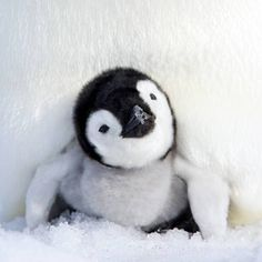 Funny penguin videos and just plain cute ones. While researching penguins I've come across an awful lot of penguin videos and while I don't end. Amazing Animals, Animals Beautiful, Cute Creatures, Beautiful Creatures, Cute Baby Animals, Funny Animals, Penguin Videos, Cute Penguins, Tier Fotos