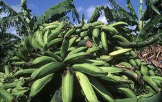 Por esa gran demanda que tiene el plátano, cuando hay escasez, en esta ocasión por la larga sequía que ha azotado la isla de La Hispaniola, se generan aumentos en el precio de ese alimento