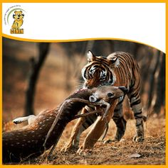 There are more than 100 shady stripes on each tiger and are beneficial because they enable them to hide under the bushes particularly while hunting their prey. Bengal Tiger, Predator, Big Cats, Animals And Pets, Tigers, Fun Facts, Hunting, Survival, Bear