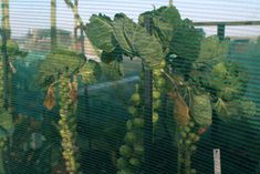British brussels sprouts growing