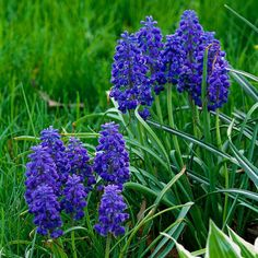 Grape Hyacinth  Gardeners don't usually think about grape hyacinths for their fragrance, but get close to these little beauties and enjoy their sweet scent right along with their true-blue color. Name: Muscari selections Growing Conditions: Full sun or part shade and well-drained soil Size: To 8 inches tall Zones: 3-9
