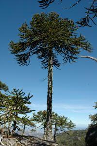 Araucaria araucana Illustrations And Posters, Flora, Patagonia, Garden Landscaping, Bonsai, Adventure Travel, Spain, World, Trees