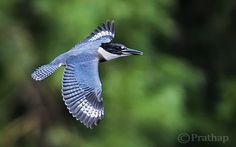 Belted Kingfisher in Flight by Prathap
