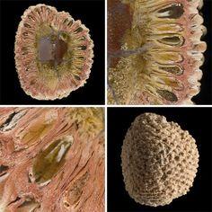 Fossilized pine cone, Araucaria mirabilis  #myt