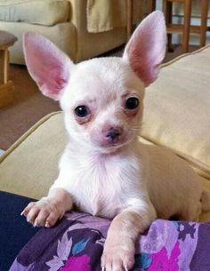 Rudy the Chihuahua