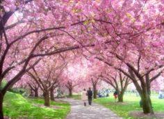 Sakura Park at Shinjuku Gyoen