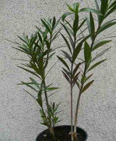 Leanderek - G-Portál Plants