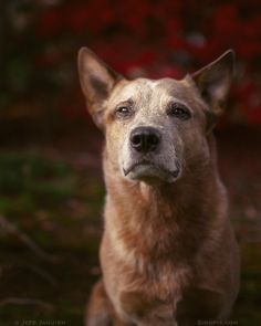 Parker, the Australian Cattle Dog (Red Heeler) Aussie Cattle Dog, Austrailian Cattle Dog, Australian Cattle Dog Red, Love My Dog, Dogs And Puppies, Doggies, Dog Rules, Old Dogs, Dog Photography