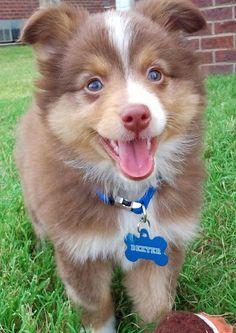australian shepherd  cutest damn puppies