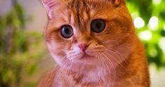 Whats that? #love #instagood #cute #beautiful #cat #cats #catsofinstagram #instacat #catstagram #scottishstraight #catlover #catoftheday #ilovemycat #ねこ #猫 #gato #gatto #고양이 #katze #кот #kedi #kitty #kitten #pet #animal #neko #chat by hosico_cat http://caresforcats.com http://ift.tt/1KL9QOQ  cats cat catlover catsofinstagram cat instacat catstagram catsagram lovecats instagramcats cat product reviews