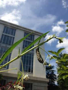 Monarch caterpillar in the Butterfly Habitat Garden | by Flickr member AsiVivo