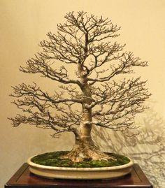 Shishigashira Japanese maple, Acer palmatum 'Shishigashira' | Valavanis Bonsai Blog