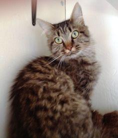 Available for adoption - Shawna is a female cat, Domestic Medium Hair, located at Santa Paula Animal Rescue Center in Santa Paula, CA.