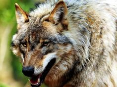 A wolf approaches you with a dominate posture; head, tail, and ears perked with his hackles raised. What do you do?