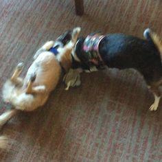 Michi & Mahina puppy play #chiuahuamix #rescuedog #chiuahuasofinstagram #beaglelove #beaglesofinstagram #pekingese #beaglepuppy #cutedog #puppy #playwithme #happymonday #dogstagram #dogoftheday #dogs_of_instagram #dogsofinstagram #scoobysnacks #puppylove #monday #bestfriend #playtime #furball #furry