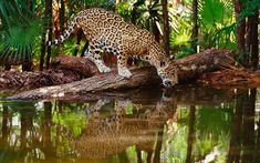 leopard having a drink