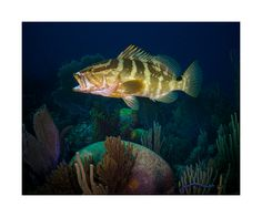 """A Nassau grouper attending a """"cleaning station"""" on a pristine Caribbean reef off the coast of Cuba. Underwater Life, Grand Cayman, Nassau, Art Reference, Sea, World, Gallery, Photography, Animals"""