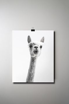 Alpaca Print, Animal Poster, Llama Print, Instant Download, Black and White Photography, 16 x 20 Poster, Printable Art,  Funny Printable Art by OlaHolaHola on Etsy https://www.etsy.com/listing/257502936/alpaca-print-animal-poster-llama-print