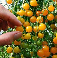 Galapagos Island tomato seeds, tough wild tiny tomato, tangy flavor,  currant tomato, drought tolerant / seeds purchased from Etsy
