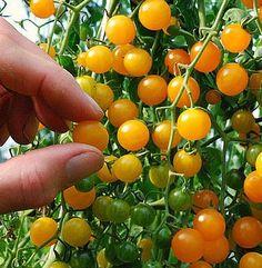 Galapagos Island tomato seeds, tough wild tiny tomato, tangy flavor,  currant tomato, drought tolerant