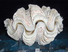 "10-1/2"" PAIR GIANT TRIDACNA SQUAMOSA CLAM SEA SHELLS BEACH DECOR AQUARIUM"