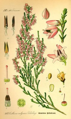 Illustration Calluna vulgaris0 - heather - Wiktionary