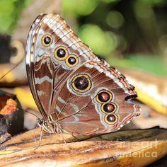 """Giant Butterfly""  by Carol Groenen #butterflies #nature"