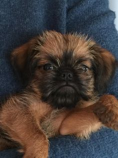 Teddie, Brussels griffon 9 weeks old😍 Kittens And Puppies, Cute Cats And Dogs, Animals And Pets, Cute Puppies, Baby Animals, Cute Animals, Brussels Griffon Puppies, Griffon Dog, Dogs