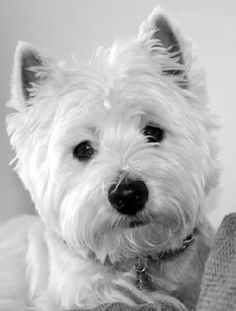 that is a beautiful westie face!!!!