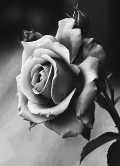 28 ideas tattoo rose black and white awesome Black And White Roses, Grey Roses, Black And White Rose Tattoo, Purple Roses, Tattoo Fleur, Rose Reference, Foto Art, Rose Photography, Photography Portraits