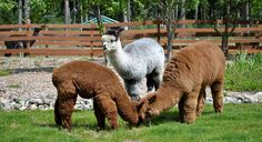 Breeder Story: Read more about Liberty Alpacas in Maple Valley, WA.  http://www.alpacainfo.com/BS_LibertyAlpacas.asp