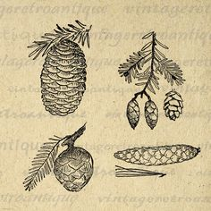 Digital Image Pinecones Download Pine Cone Collage Sheet Graphic Printable Antique Clip Art. High quality digital graphic. This high resolution printable digital illustration is excellent for transfers, making prints, and more. For personal or commercial use. This graphic is high quality at 8½ x 11 inches large. Transparent background version included with every graphic.