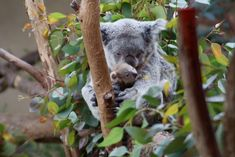 """Momma and Baby Koala Bears. The baby emerged from mother's pounch to stare back at the crowds staring at them. """"A mom's hug lasts long after she lets go,"""" ~ author unknown. Photo #24 by Alan Stoddard"""