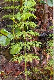 E.Silvaticum - Hľadať Googlom Plants, Flora, Plant, Planting