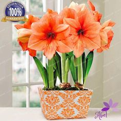Houseplants That Filter the Air We Breathe Rilona Amaryllis Imparts A Warm Glow To Any Setting, With Large, Rounded Blooms Of Rich Salmon That Hold Their Color And Shape For Several Weeks Indoor Flowers, Bulb Flowers, Exotic Flowers, Orange Flowers, Tropical Flowers, Fresh Flowers, Tropical Garden, Beautiful Flowers, Home Garden Plants