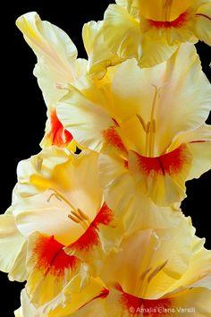 Yellow and Orange Gladiola